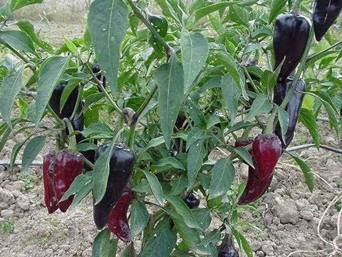 Grow Hot Peppers--Jalapeno Chili