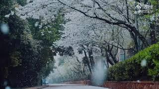 武汉大学樱花雨:期待疫情结束,共赴武汉之约!【新冠疫情|News】