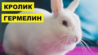 Разведение кроликов породы Гермелин как бизнес идея | Кролик Гермелин