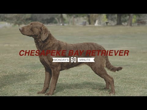 MONDAY'S MIINUTE: CHESAPEAKE BAY RETRIEVER