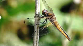 """Scarce Chaser (female) (Libellula fulva) - Barcombe, Sussex, June 2020 Not long ago, I posted a video of the male of this uncommon species and described the female as """"an attractive Tawny colour with bell-like markings down the length of the abdomen"""",   Well, here she is. Females get darker brown with age, so this looks like a relatively young adult.  Where they are present, which is in a limited number of sites, The Scarce Chaser flies from May through to late July, or early August.  As its name suggests, this Chaser is scarce in Britain and is consequently listed under category 3 (scarce) in the British Red Data Book on Insects.  (To subscribe for free to my wildlife video channel, please click on 'subscribe' or visit www.youtube.com/user/Thepkb22)"""