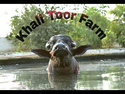Babbu murrah top breeding bulls india - Most Popular Videos