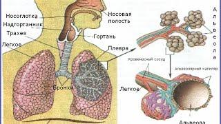 Дыхание человека - энциклопедия для детей