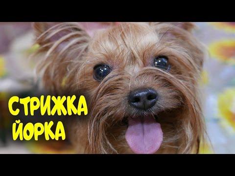 Как подстричь собаку йорка в домашних условиях видео