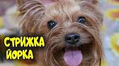 Бивер-йоркширский терьер. Бивер-йоркширский терьер. Объявления о продаже щенков и взрослых собак с фотографиями.