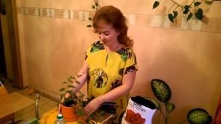 видео Традесканция комнатная: уход в домашних условиях, фото, мелколистная, приречная, белоцветковая, как посадить, размножение, пересадка, как укоренить, отзывы