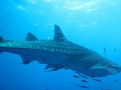 Whale shark pt 3