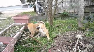 畑で遊ぶ山陰柴犬の子犬兄妹.