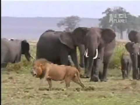 Elephants vs lions - Run away or die !!