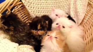 2014 Persian Kittens - Adorable Small Persians