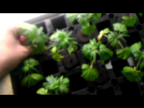 how to grow cannabis clones