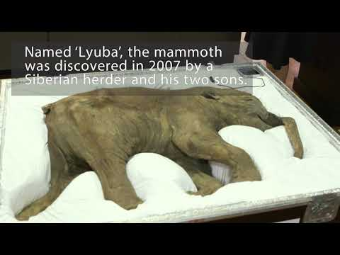Baby mammoth arrives at the Australian Museum