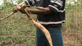 Combating Cassava Mosaic - 2007