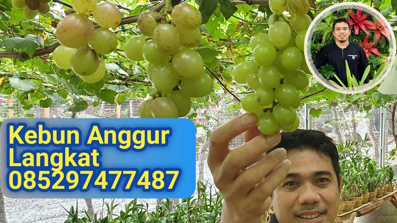 Kebun Anggur Langkat 085297477487 #shorts