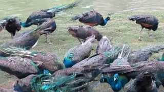 เป่านกหวีดเรียกฝูงนกยูงนับร้อยตัวจากป่าดงดิบสิบสองปันนา