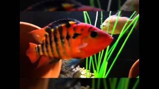 Red Terror Cichlid (Cichlasoma festae) And tank mates