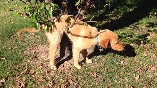 ゴールデンレトリーバーの子犬は木の枝でつかまえられる-おかしい犬の編...