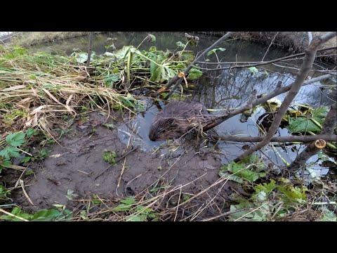 Охота на бобра с проходными капканами - приманка Beaver Creek работает!!!