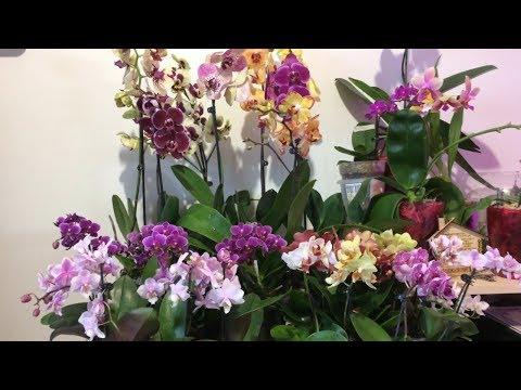 Обзор орхидей завоз от 04.07.2018г. Мини и стандартные фаленопсисы ароматные и сортовые.