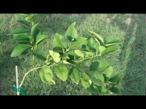 Lemon Fruit Tree Grown From Seed Flowering<a href='/yt-w/DGOqOe8xMXM/lemon-fruit-tree-grown-from-seed-flowering.html' target='_blank' title='Play' onclick='reloadPage();'>   <span class='button' style='color: #fff'> Watch Video</a></span>