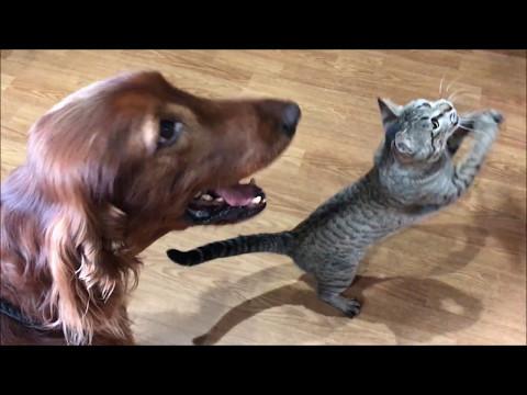 Irish setter and cat  playing with toys together