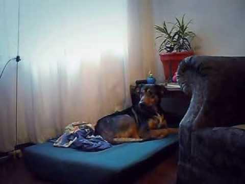 Amazing dog talent - Laizy Daisy