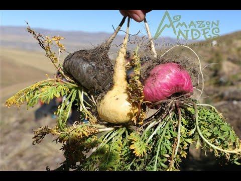 Looking for Organic Maca root Powder - wholesale bulk