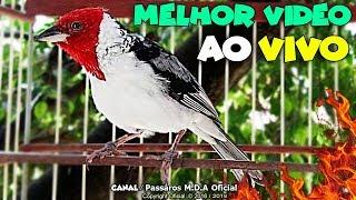 DEIXE SEU GALO DE CAMPINA LOUCO PRA CANTAR  ( ABRIR FOGO )🔥 !!!