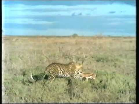 Cheetahs vs vultures and baboons, baboons vs leopard, king ...