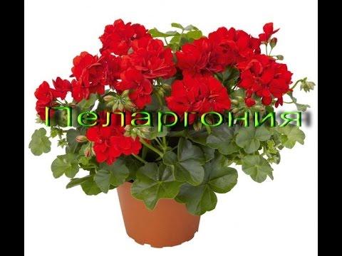 Уход за геранью (пеларгония)- Комнатные растения 9