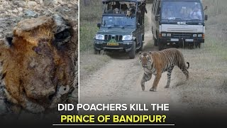Bandipur Tiger Prince's chopped off snout found with missing canines - Star of Mysore
