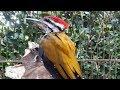 Suara Gacor Burung Pelatuk Siap Jadi Format Mp3