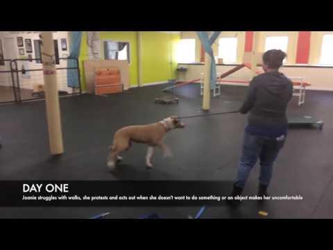 Training | Joanie leash walking | Solid K9 Training Dog Training