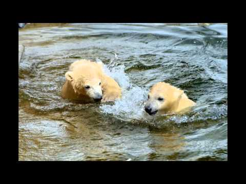 Canada Eisbären