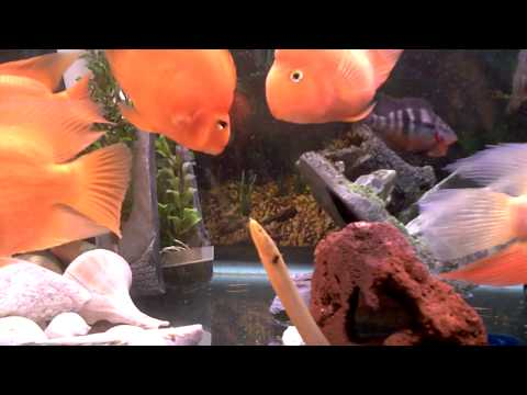 My Comunity Fish Tank Red Parrots Gold Severum Firemouth African Rope Fish