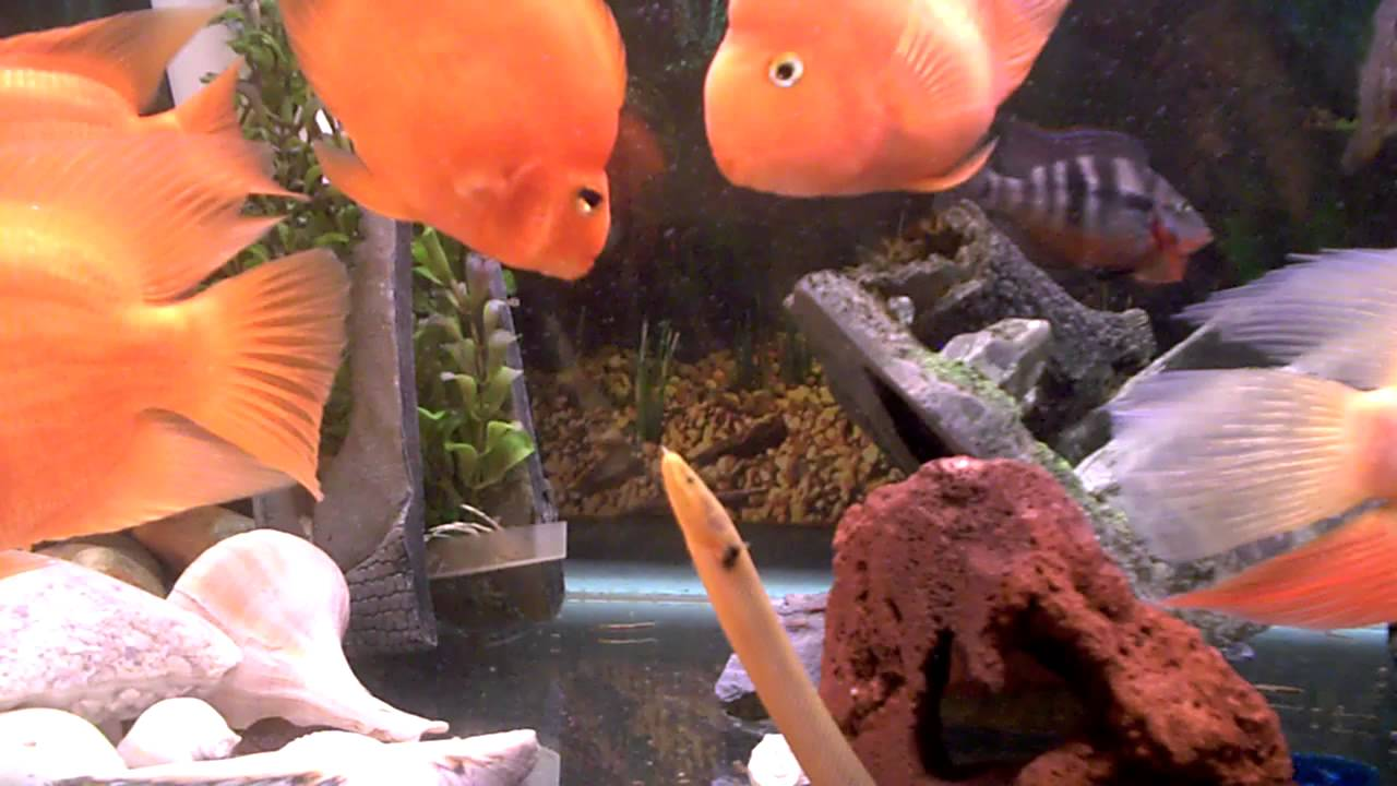 Fish aquarium in delhi olx - My Comunity Fish Tank Red Parrots Gold Severum Firemouth African Rope Fish