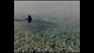 ΠΡΟΣΟΧΗ ΚΑΡΧΑΡΙΑΣ ΣΤΗΝ ΨΑΘΑ 15-10- 2010 NZ GR shark