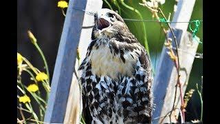 hawk calls to eagle beautiful closeup of our little hawk near sidney nest bc