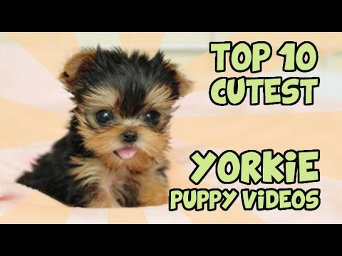 Top 10 Cutest Yorkie Puppies Of All Time Youtube
