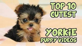 Top 10 Cutest Yorkie Puppies Of All Time