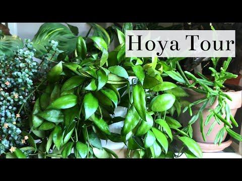 Hoya Houseplant Tour