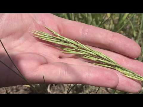 Grass Identification:  Smooth Brome