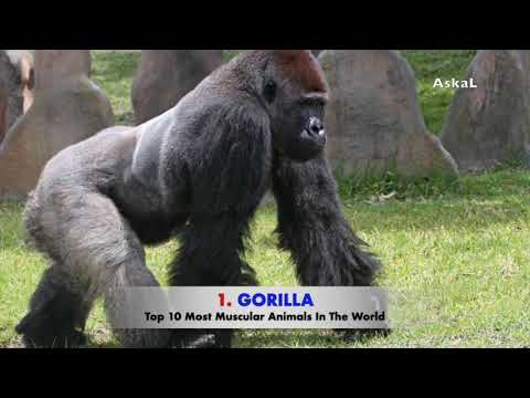 Top 10 Most Muscular Animals In The World - Askal