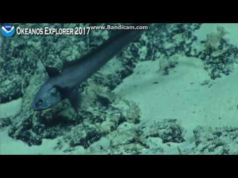 Okeanos Kingmans Reef