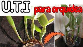 Como Enraizar Orquídea sem Raiz de um Jeito Fácil