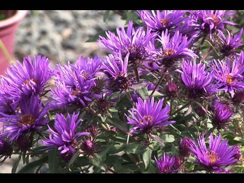 Learning About Asters
