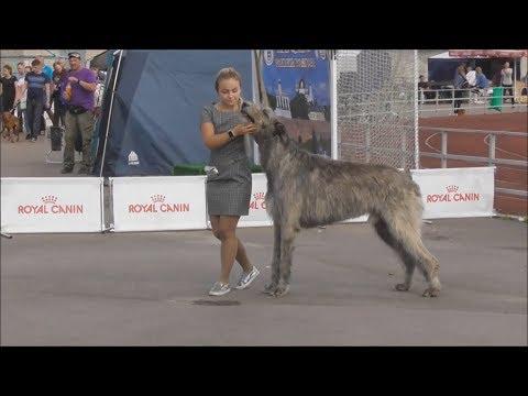 Ирландский волкодав, видео с выставки собак