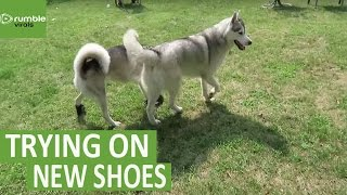 Husky tries dog shoes for the first time