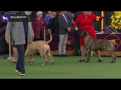 Bullmastiffs | Breed Judging 2020