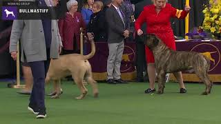 Bullmastiffs | Breed Judging 2020
